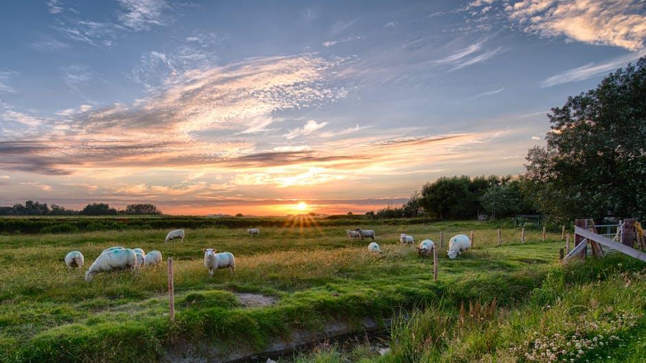 Foto de ovejas