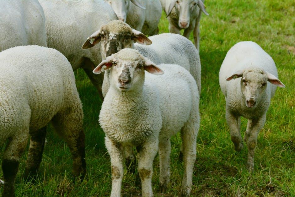 Imagen de ovejas
